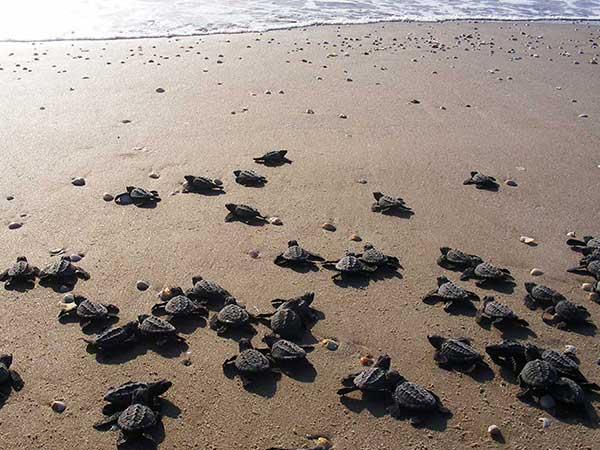 Campamento tortuguero, liberación de tortugas frente al restaurante Mar de Plata en Tuxpan
